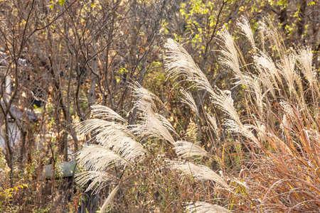 Golden Pampas grass Standard-Bild