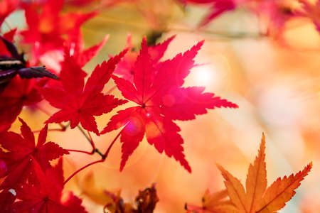Maple leaves bathed in sunshine