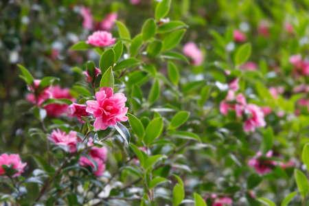 Beautiful red camellia flowers Standard-Bild