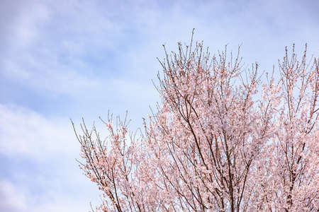 Cherry blossoms with beautiful pink petals