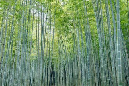 Fresh green bamboo forest Standard-Bild