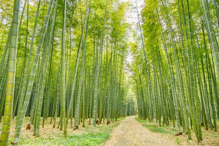 Fresh green bamboo forest