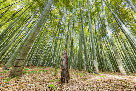 Fresh bamboo and bamboo shoots swaying in the wind