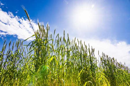 Fresh wheat with beautiful fresh green