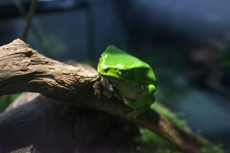 A poisonous barbarian frog (also known as giant monkey tree frog), bred in arium terra in a dimly lit room, looking at you  with a sharp glance at the trunk of a tree