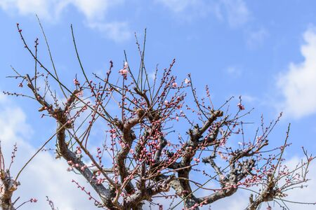 Plum blossoms blooming against the sky