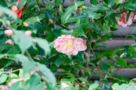 Overgrown leaves and two-tone pink and white camellia flowers Фото со стока
