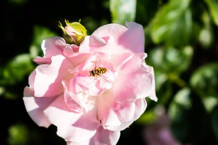 Hoverfly parked on pink rose flower Фото со стока
