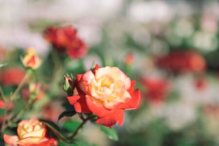 Red and yellow bicolor roses
