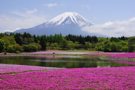 Fuji Shibazakura Fastival