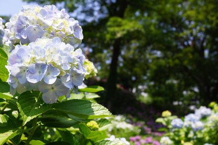 historic sites: Hydrangea