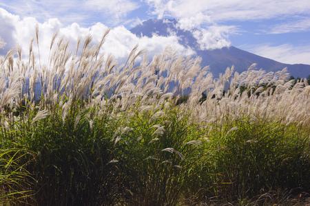 pampas: Japanese pampas grass and Fuji