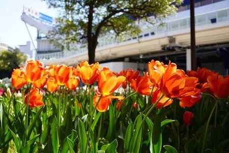 Yokohama park tulip