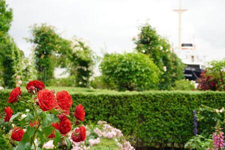 Rose blooming in Yamashita Park