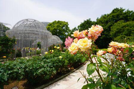 Roses blooming in Odawara Flower Garden 版權商用圖片