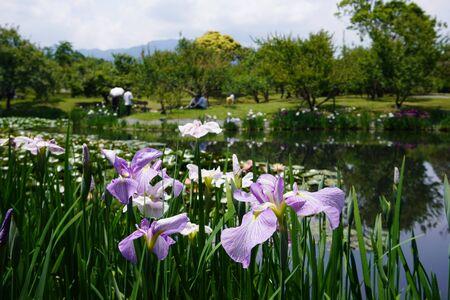 Flower irises blooming in Odawara Flower Garden