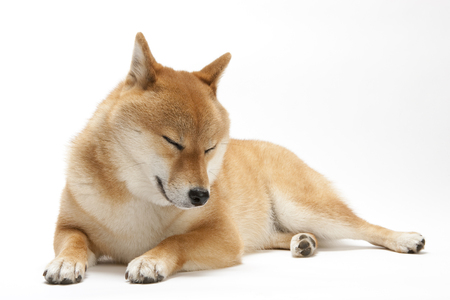 Japanese traditional dog shiba inu dog