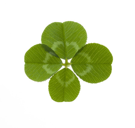 luckiness: four-leaf clover isolated on white Stock Photo