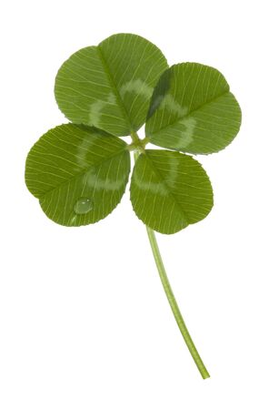 fourleaf: four-leaf clover isolated on white Stock Photo