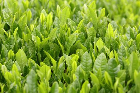新鮮な緑茶の japansayama 茶葉します。