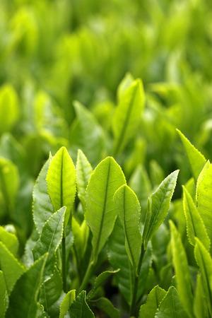 Fresh Green tea leaves in japansayama tea