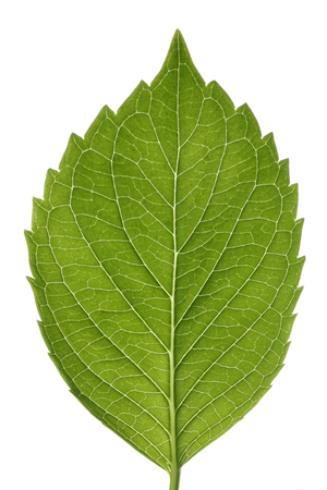 Hydrangea leaf isolated on white...