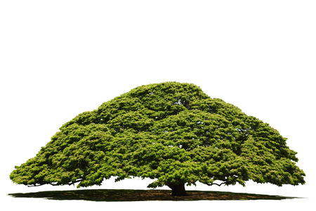 clipping  path: Isolated tree with clipping path Stock Photo