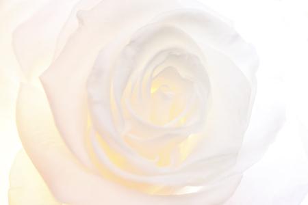 Mooie roos op witte achtergrond Stockfoto