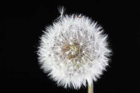 fluff: Dandelion on Black background.