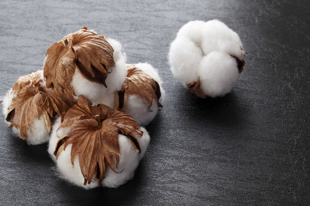 cotton crop: Cotton plant flower isolated on black background Stock Photo