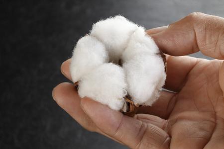 Cotton Blume auf der Hand Standard-Bild