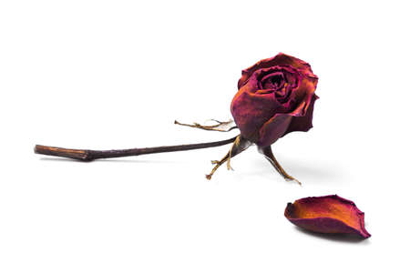 Dried red rose and flowerpot isolated on white background.