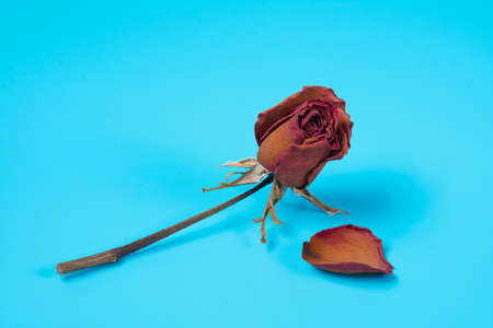 Dried red rose on blue background.