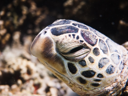 green turtle photo
