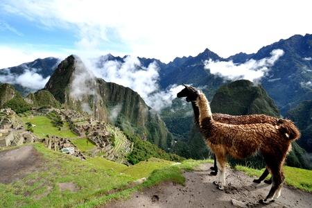the lama: lama and machu picchu peru