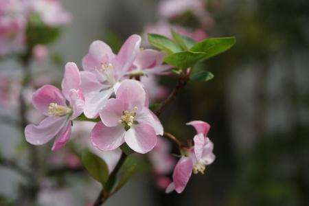 flor de durazno: Peach Blossom  Foto de archivo