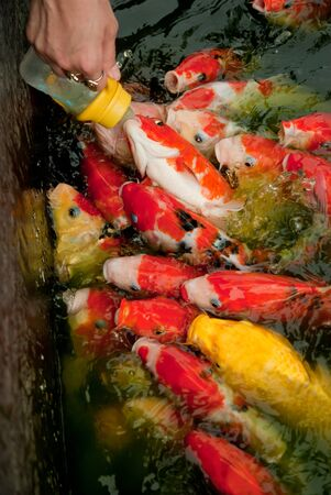 Feeding fish with nursing bottle at Huahin Floating Market, Thailand photo