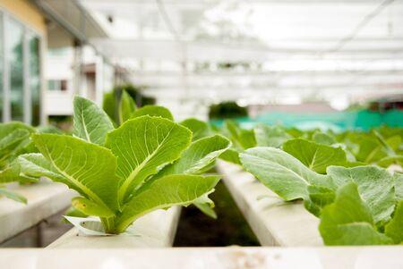 cos: Green cos in hydroponic farm Stock Photo