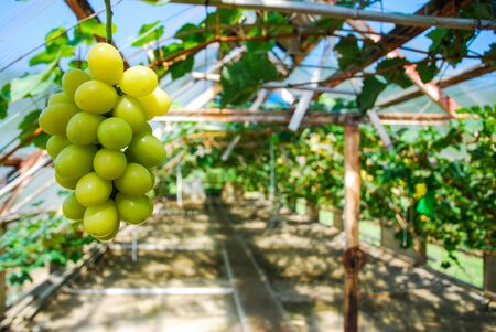 muscat: A famous muscat grapes in vineyards Stock Photo