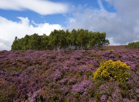 A hillside near Hathersage, Derbyshire covered in heather during late August photo