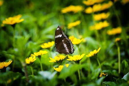sucking: Butterfly sucking flowers