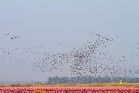Troep van vogels in rood lotusbloemmeer, Thailand