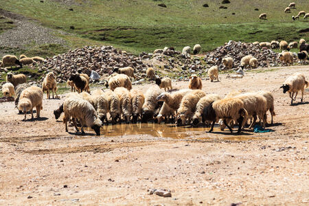 Flock of mountain goats drinking water at atlas mountain in morocco photo