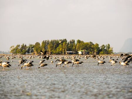 openbill: Asian Openbill seeking for food in Thale Noi Phatthalung Province Thailand Stock Photo
