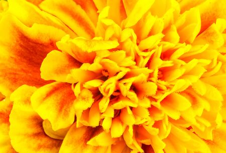 red floral: Closeup of Marigold Flower showing petals pattern and texture