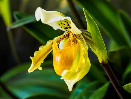 lady's slipper: Closeup of a beautiful yellow Ladys Slipper Orchid