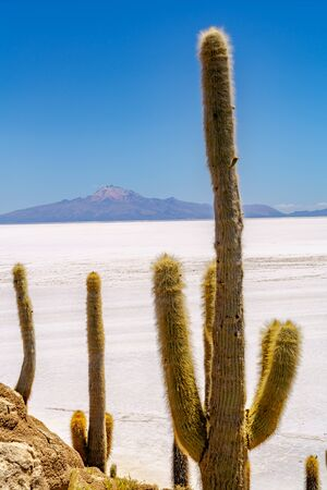 incahuasi: Cactus at Incahuasi Island in the Uyuni Salt Desert, Bolivia