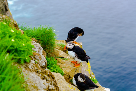 tufted puffin: Puffin at the cliff of Latrabjarg in Iceland Stock Photo