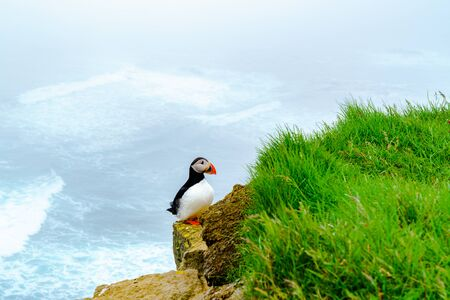 Atlantic Puffin standing on the rock at the cliff of Latrabjarg in Iceland Stock Photo