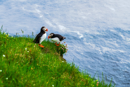 Atlantic Puffin standing on a cliff at Latrabjarg, the westernmost point in Iceland